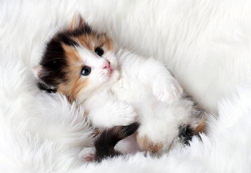 chat à adopter saint valentin
