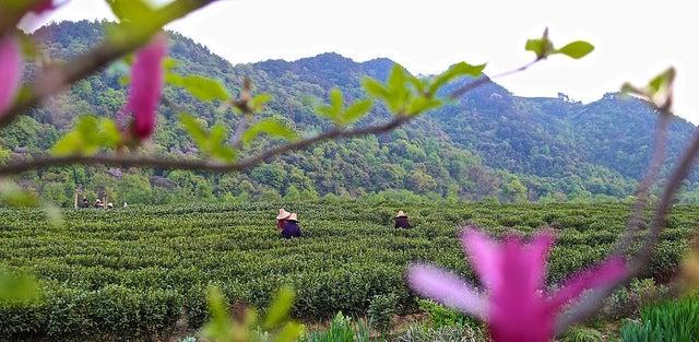Campos de chá Hangzhou China