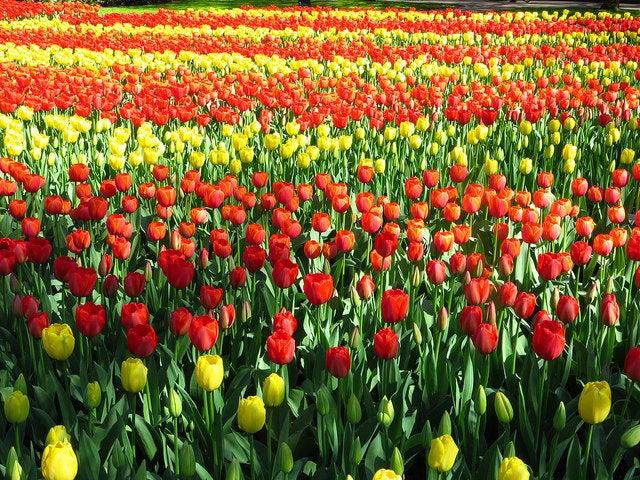 explanada de tulipanes en primavera de Amsterdam