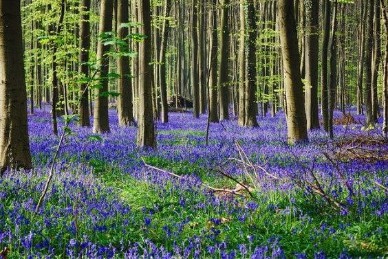 Foresta di hallerbos Belgio