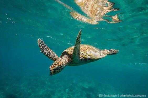 Tortugas en las islas Gili en bali