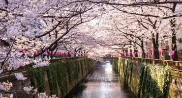 Le guide indispensable du Hanami au Japon !
