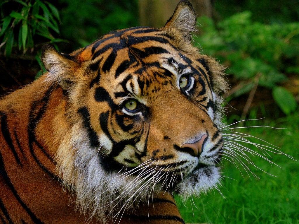 tigre del zoo de chester
