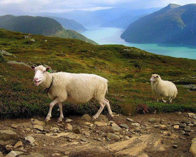 moutons en norvège