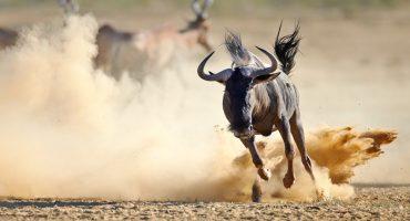 Les animaux d'Afrique, de A à Z
