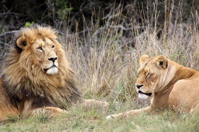 lion et lionne - blog eDreams - visiter l'Afrique