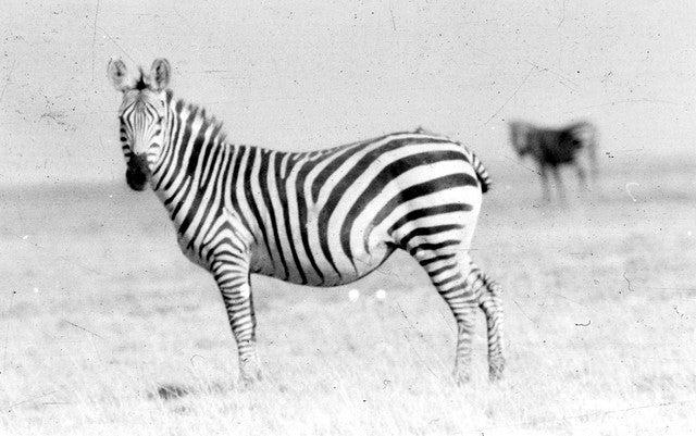zebre - blog eDreams - visiter l'Afrique
