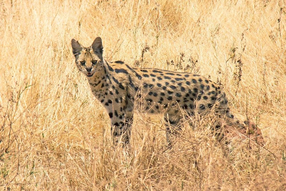 serval afrique - blog eDreams