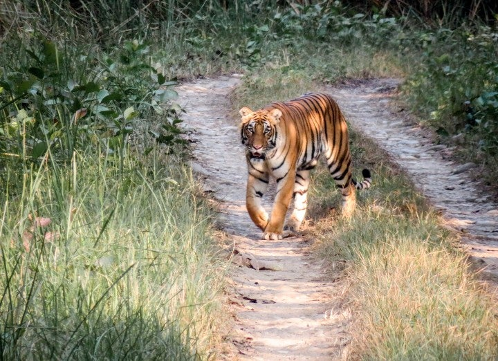 tigre jungle nepal - blog edreams