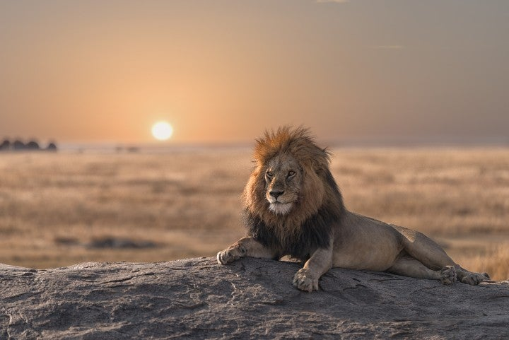 lion savane tanzanie - blog edreams