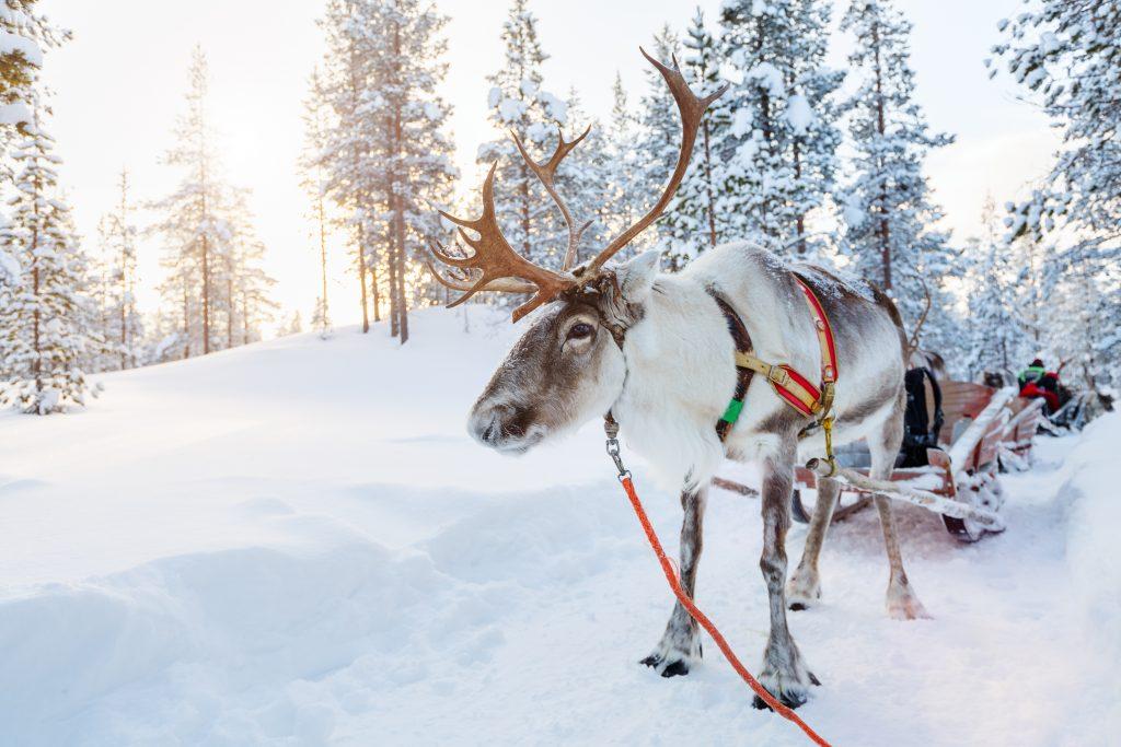 balade en traîneau à rennes Laponie